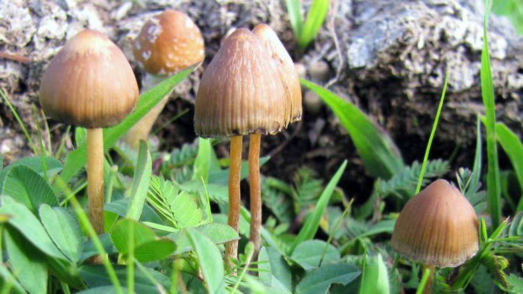 The Conversation : « Soignera-t-on un jour grâce au LSD et aux champignons hallucinogènes ? » par Vincent Verroust